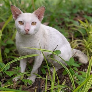 Cat Rescue Putih